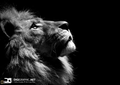 black-and-whitelion-picture-hd-get-design